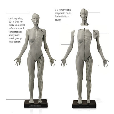 AmiAmi [Character & Hobby Shop] | Anatomy Figure Female Ver.2-A()