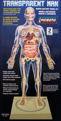 AmiAmi [Character & Hobby Shop] | Visible Man (Male Anatomical Model ...
